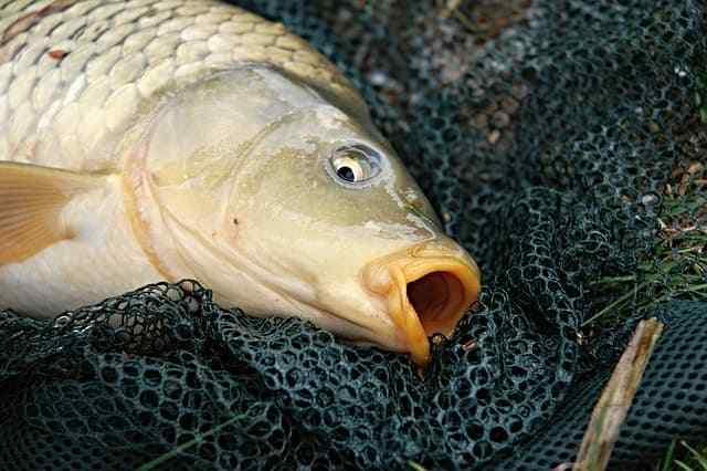 Umpan Ikan Tombro Malam Hari Paling Manjur