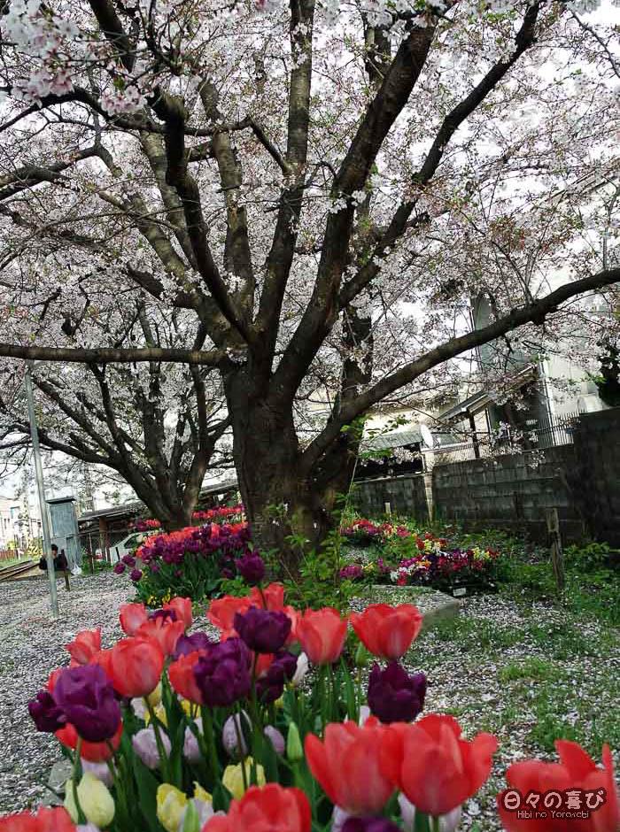 majestueux sakura et tulipes en premier plan, gare Ryoan-ji, Kyoto