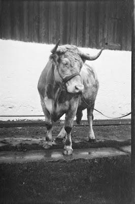 Ein Stier aus den 1930ern - Gars am Inn - 1930-1950