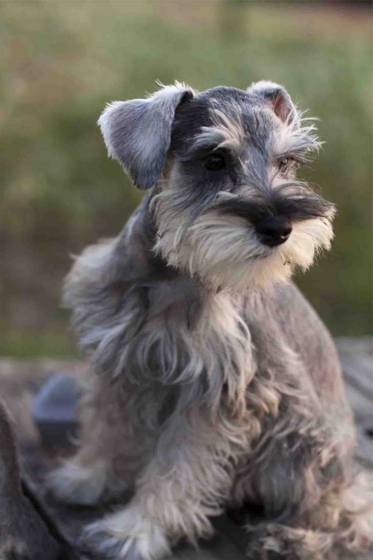 Cute Dogs Miniature Schnauzer Puppies Salt And Pepper