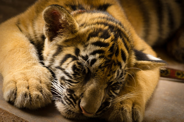 Baby tiger by Diego Cambiaso from flickr (CC-SA)