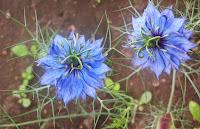 нигелла дамасская голубая