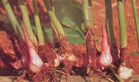 Hasil gambar untuk akar laos