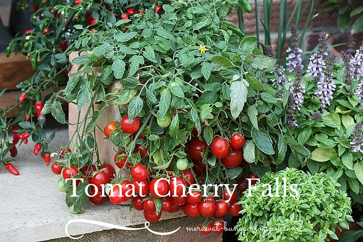 Tomat Cherry Falls