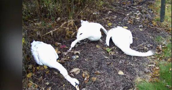 FOTOS: aparecen muertos cisnes en Indiana éstados unidos.