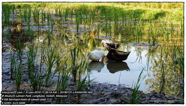 gambar itik mandi-manda di sawah padi