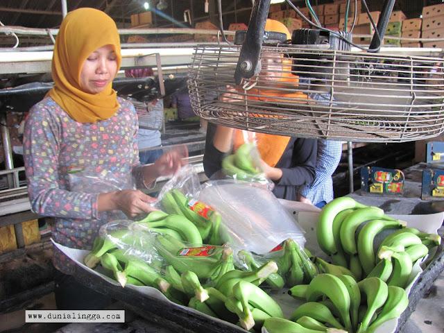 ibu ibu sedang mengemasi pisang yang akan dikirim ke Jepang