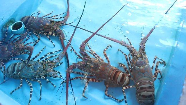 Penyakit Lobster Air Tawar