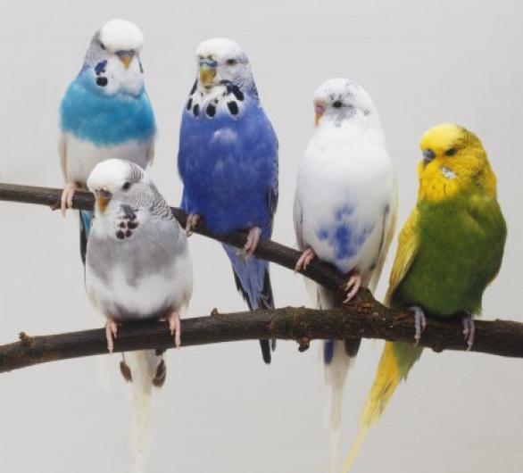 طيور استرالى بادجى للبيع