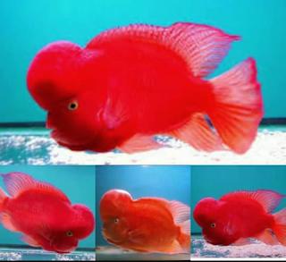 Jenis ikan louhan Super Red Monkey