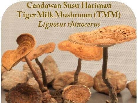Cendawan Susu Harimau : Herba Bernilai Warisan Dari Alam