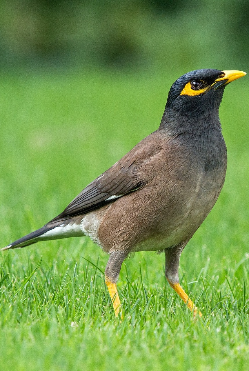 Picture of a common myna.