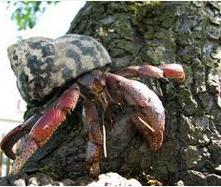 Kepiting Hermit Hewan Peliharaan Omivora Untuk Terarium akar pohon