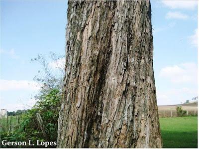 Campomanesia xanthocarpa tronco