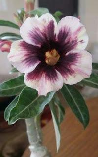 Gambar Bunga Adenium yang Unik dan Cantik 15