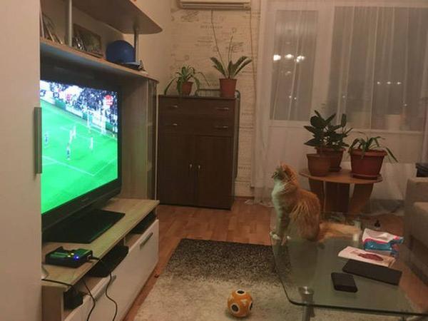 Смешной кот смотрит футбол