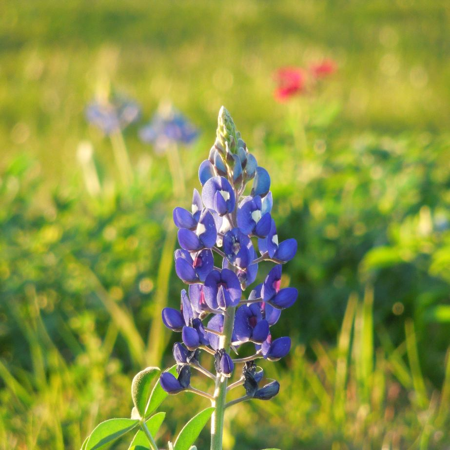 2013 Bluebonnet Season Is Upon Us