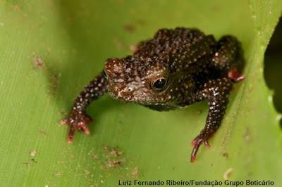 sapo, nova espécie, espécie, animais, santa catarina, frog, sapinhos, anfíbios, anfibio, natureza, new species, Brazil
