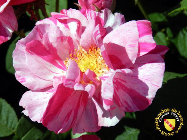 VILLERS-LES-NANCY (54) - La roseraie du Jardin botanique du Montet - Rosa gallica versicolor