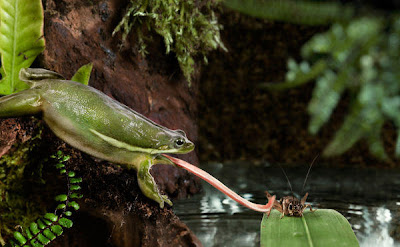 la chachipedia anfibios