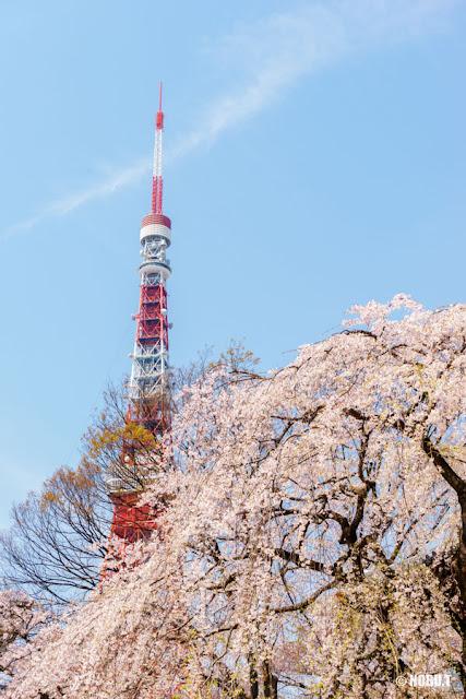 増上寺(港区)の枝垂れ桜と東京タワー