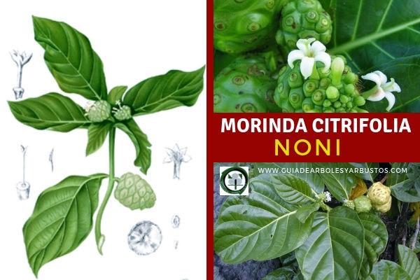 El Noni, Morinda citrifolia, arbusto de la familia Rubioideae, del género Morinda