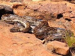 Python Batu Afrika (24 kaki)
