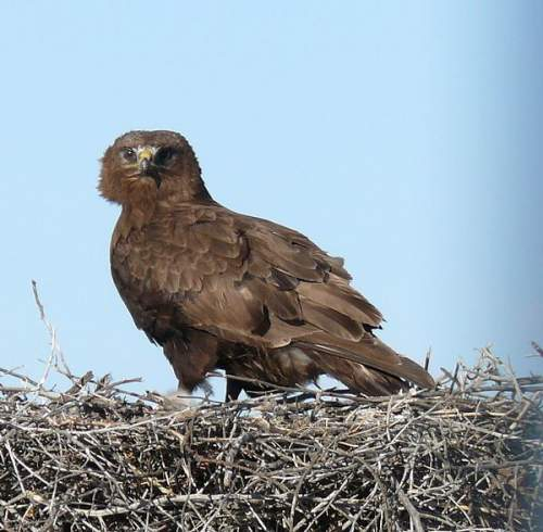 Birds of India - Image of Upland buzzard - Buteo hemilasius