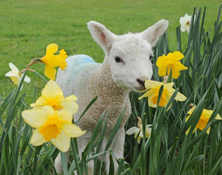 Spring Lamb | Flickr - Photo Sharing!  |Baby Lambs In Spring