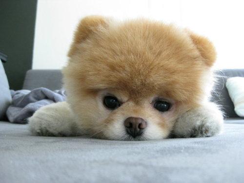 Good Boo Army Adorable Dog - boo-cute-dog-love-pomeranian-puppy-Favim  Snapshot_43848  .jpg