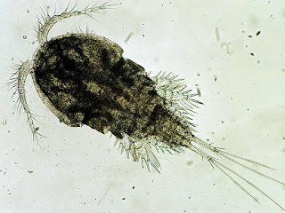 parasit argulus