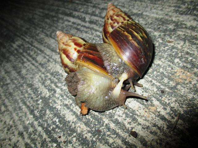 Reproduksi bekicot, Achatina fulica kawin dan berkembang biak