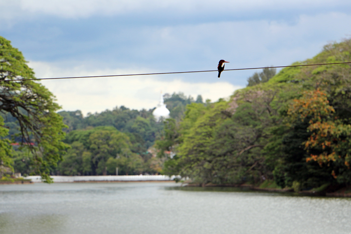 Vogel am Kandy Lake