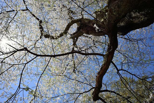 八方尾根 桜 nikkor 24mm f2