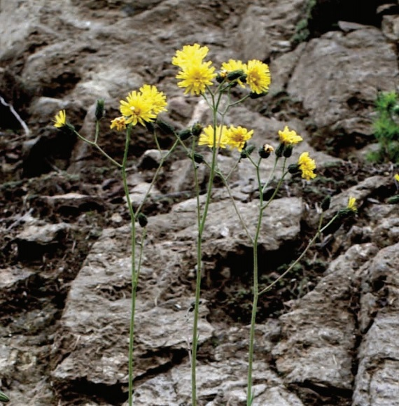 A New Hawkweed from Romania