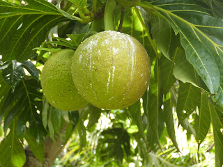 Photo fruits à pain Sainte-Marie Madagascar