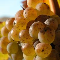 Late Harvest (Spätlese) Grapes