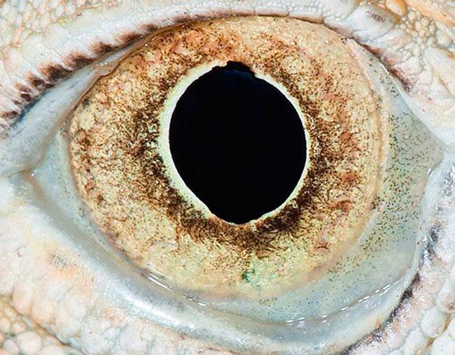 Olho de Iguana