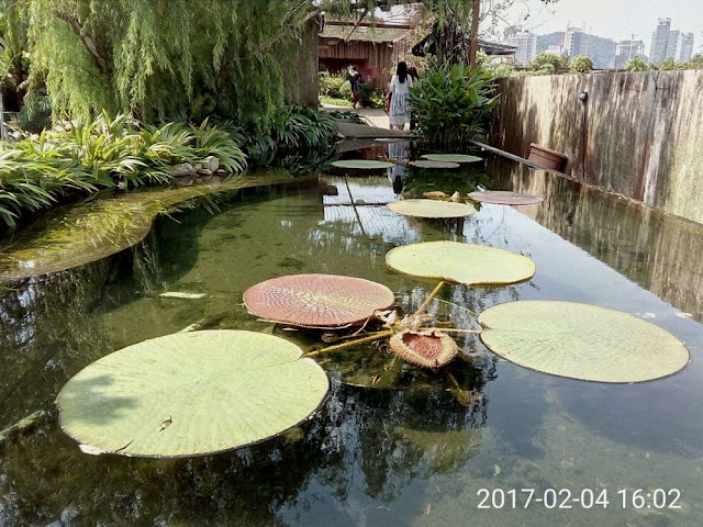 Amazon Lily pond located on the roof top Secret garden of 1-U taken with Neffos C5 smart phone in HDR mode
