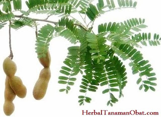 daun asam jawa, asam jawa, obat asma, obat rematik, obat batuk kering, khasiat asam jawa, manfaat buah asam jawa