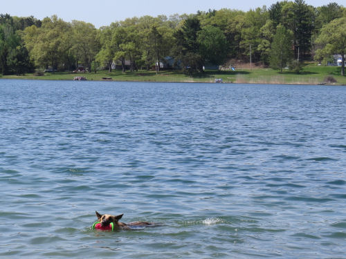 dog swimming in Canfield Lake, Manistee County, Michigan
