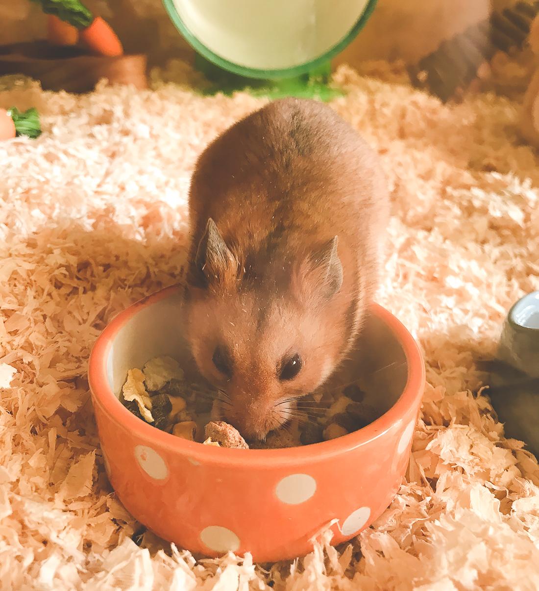 Meet Cinnamon Roll, my baby hamster | Shoes & Glitter