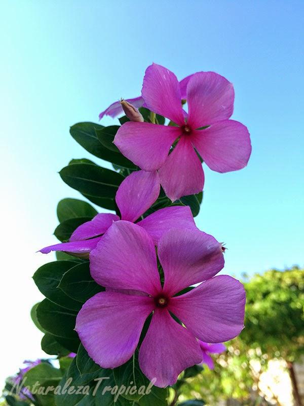 Variedad rosa de Vicaria, nombre popular de Catharanthus roseus