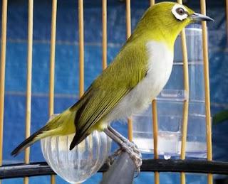 Foto Burung Pleci Juara Kontes Kicau Gacor Harga Terbaru