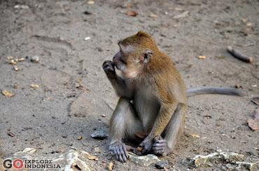 Kera (<i>Macaca fascicularis</i>)