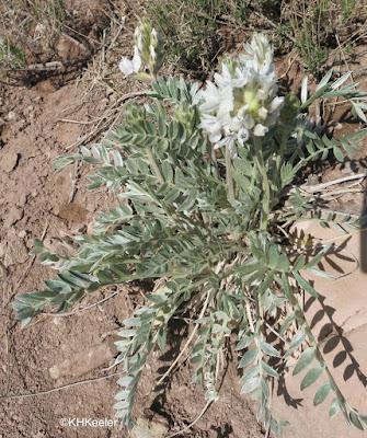 white locoweed, Oxytropis sericea
