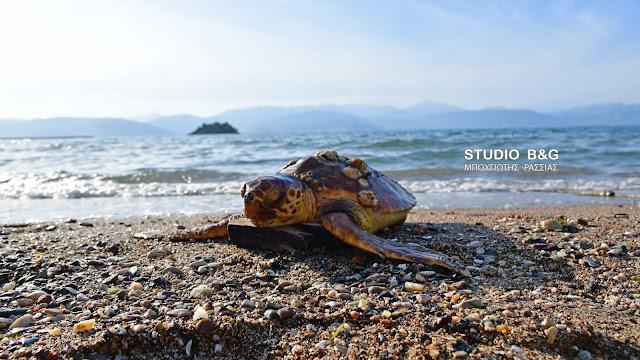 Νεκρή θαλάσσια χελώνα ξεβράστηκε στην παραλία Καραθώνας στο Ναύπλιο (βίντεο)