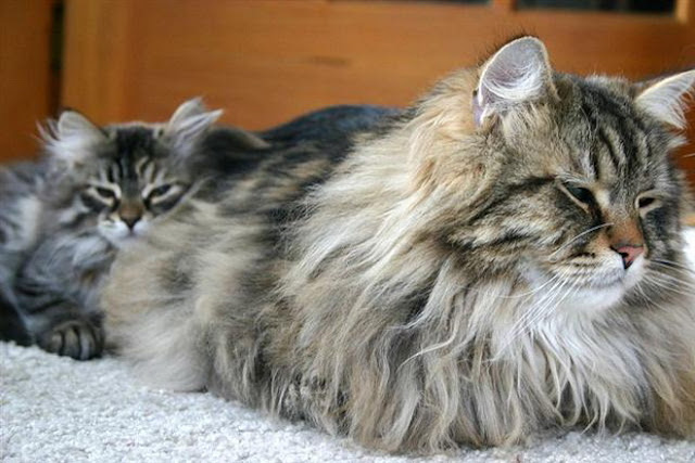 siberian forest cat breeders