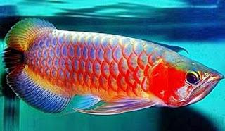 8 Khasiat Ikan Arwana Untuk Ikan Hias dan Pendatang Keberuntungan