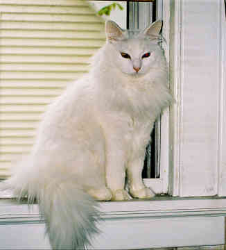 Turkish Angora Cats Information Facts Amp Pictures All